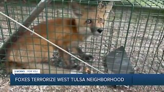 Foxes terrorize west Tulsa neighborhood