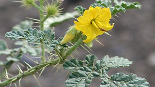 Buffalo bur! This Arizona plant can kill you and your pets - ABC15 Digital - Video