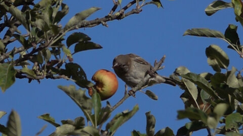 What a funny and surprised expression of this sparrow when his juicy apple falls down.