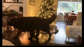 Gigantic Newfoundland nearly knocks down Christmas tree