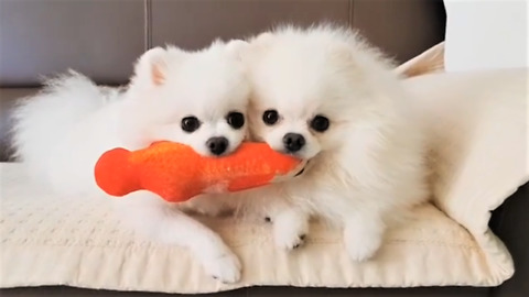 Pomeranian and her puppy preciously share toy