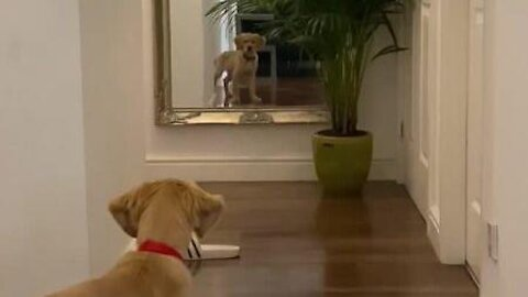 Puppy sees himself in the mirror and thinks it's an intruder!