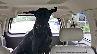 Adopted Great Dane Enjoys Her First Road Trip  - Video
