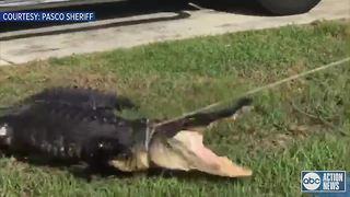 Pasco County resident wakes up to 8.5-foot-long gator under truck, removed by trapper