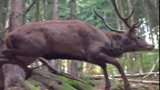Deer Running Through Forest in Slow-Mo Is Majestic - Video
