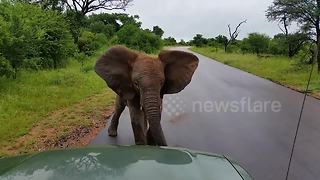 Grumpy little elephant charges at safari vehicle - Video