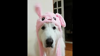 Dog wearing rabbit costume hilarious wiggles bunny ears - Video