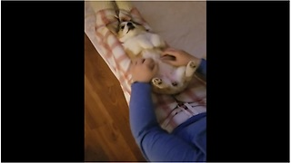 Corgi puppy proves that dogs are ticklish - Video