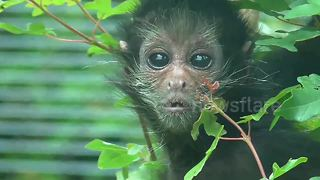 Baby spider monkey 'panics' in his enclosure - Video