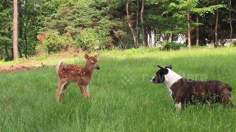 Dog and baby deer aren't the biggest fan of each other
