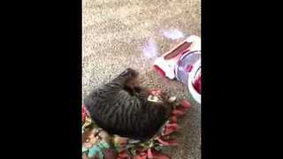 Cat Plays Death Hoax on Owner - Video