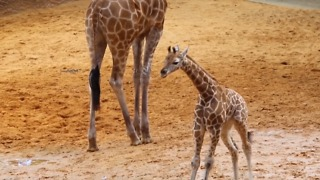 Energetic Giraffe Calf Makes Public Debut at Perth Zoo - Video
