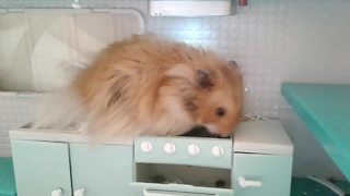 Hamster explores his own personal kitchen - Video