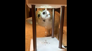 Confused Corgi Can't Figure Out Anti-Gravity Foundation Lamp