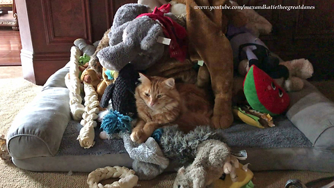 Funny Cat Enjoys Nap in Great Dane's Toy Box Bed