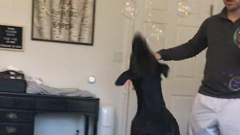 Dog freaks out over bubbles
