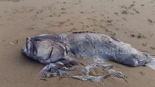 Monster 2-meter fish washes up on Australian beach - Video