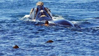 Daredevil Swims Dangerously Close To Southern Right Whales - Video