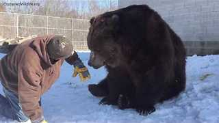 Man and His Bear Friend Play in the Snow - Video