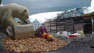 Polar Bear and Cub Enjoy Gifts Ahead of Christmas - Video