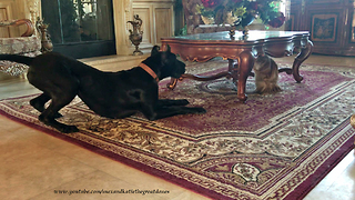 Talkative Clumsy Great Dane Puppy Wants Cat To Play With Her  - Video