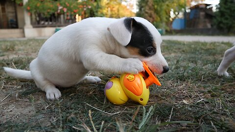 Jack Russell Terrier puppies take on wind-up duckling