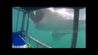 Shark bites diving cage in Gansbaai, South Africa - Video