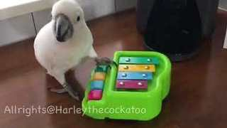 Harley the Cockatoo Is a Masterful Pianist - Video