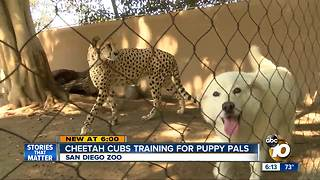 Cheetah cubs training for puppy pals at San Diego Zoo - Video