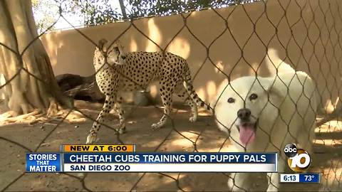 Cheetah cubs training for puppy pals at San Diego Zoo