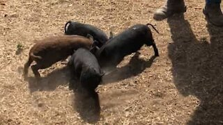 Piglets' bizarre spins while eating
