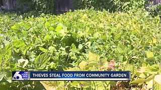 Thieves steal food from community garden for low-income refugees