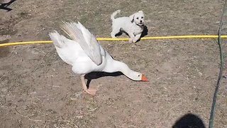Irritated goose repeatedly chases off pesky pup