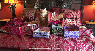 Box loving cat's Christmas dream comes true