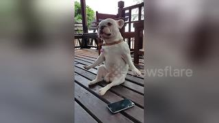 French bulldog dancing to his favourite tunes - Video
