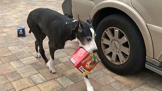 Talented Great Dane Carries Huge Box of Dog Biscuits Instead of Wine  - Video