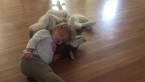 Toddler absolutely adores her Husky