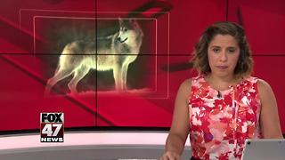 Court keeps Great Lakes wolves on endangered species list - Video