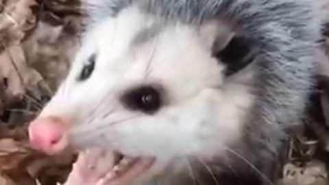 Crazy Guy Pets Wild Possum, They Become Best Friends