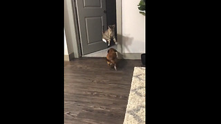 Ninja cat jumps over dog during their playtime - Video