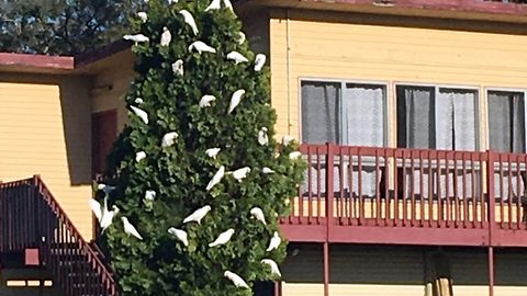 Most Aussie Christmas tree ever? Hilarious moment plant expert mistakes dozens of cockatoos perched on fir for festive decorations