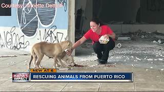Local animal rescuers back in Puerto Rico - Video