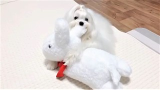 Maltese preciously cuddles rabbit stuffed animal