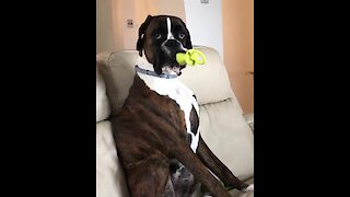Hysterical Pup Chews On Pacifier Like A Little Baby