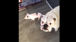 Deaf Bulldog meets a tiny baby piglet - Video