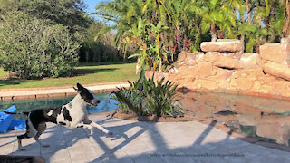 Happy Great Danes Enjoy Their Morning Laps Around The Pool