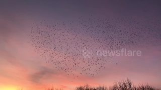 Starling murmuration swirl in beautiful sunset sky - Video