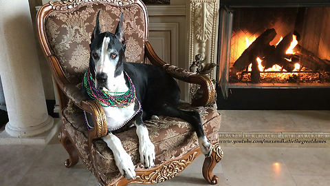 Pretty Great Dane Loves Her Party Beads