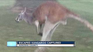 Kangaroo found after escaping from Kenosha County farm - Video