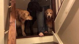 Golden Retrievers teach Great Dane how to use stairs